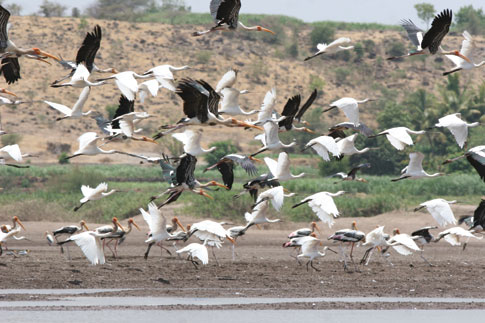 Migratory Birds_in_India_is_Dwindling