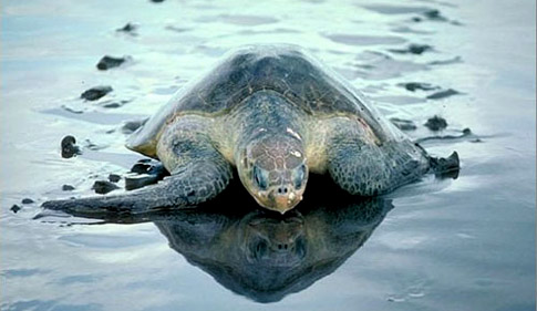 olive-ridley-turtle